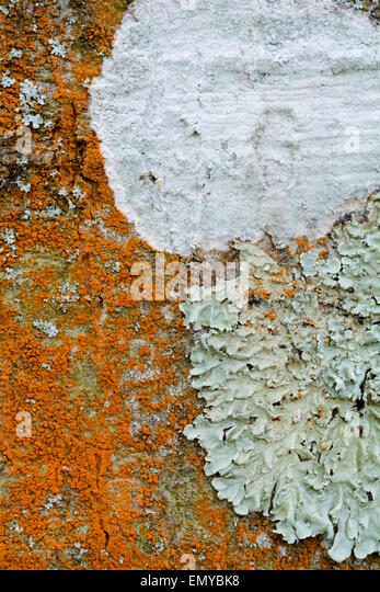 what is a tree trunk covered with 4 letters - trentepohlia algae stock photos trentepohlia algae stock
