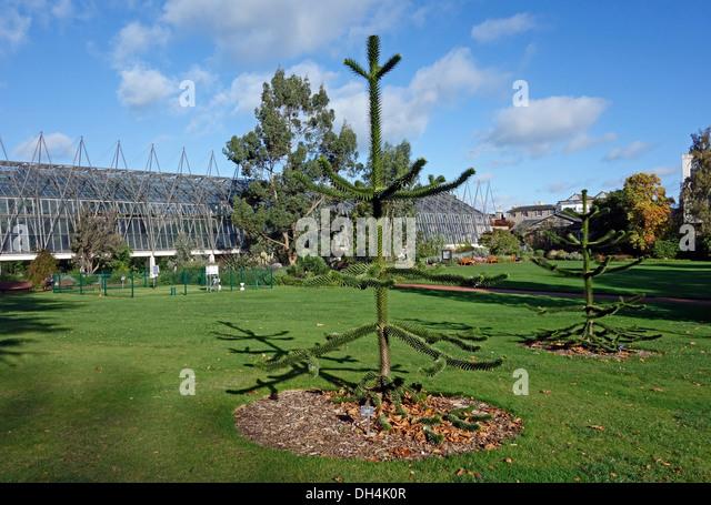 Araucaria araucaria garden stock photos araucaria for Garden trees scotland