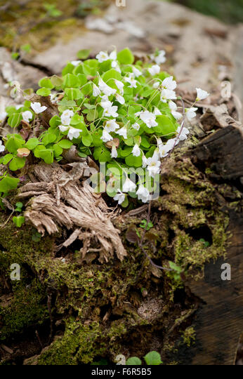 Wood sorrel family stock photos wood sorrel family stock images alamy - Flowers that grow on tree trunks ...