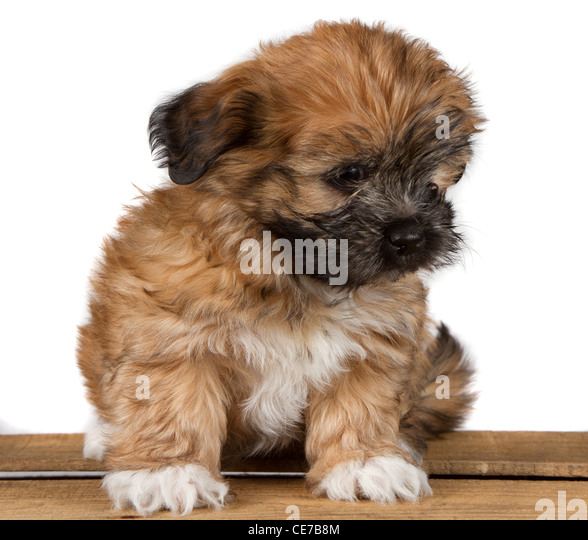 Small White Fluffy Dog Stock Photos & Small White Fluffy ...