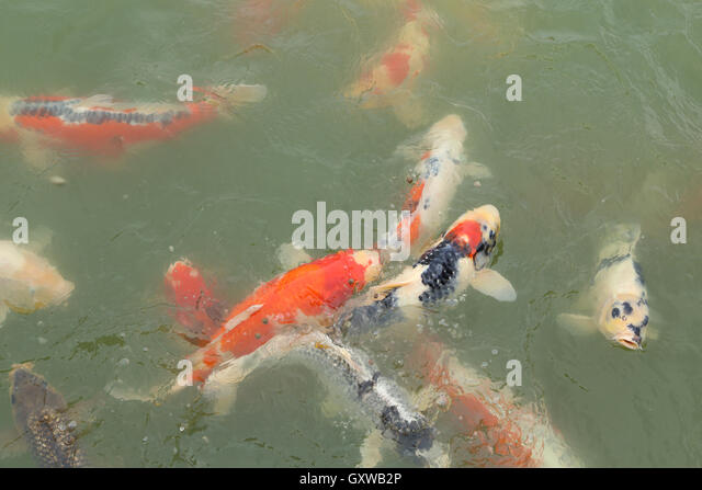 Lucky fish stock photos lucky fish stock images alamy for Koi fish swimming