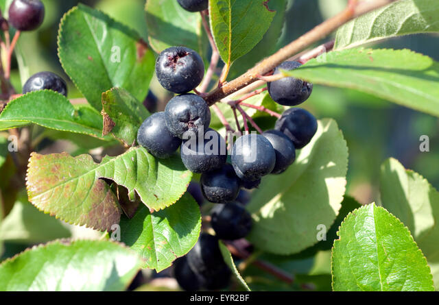 aronia plants stock photos aronia plants stock images. Black Bedroom Furniture Sets. Home Design Ideas