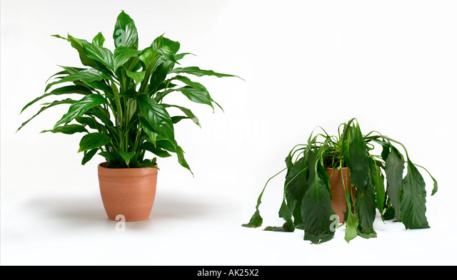 Dying pot plant stock photos dying pot plant stock images alamy - Seven tricks for healthier potted plants ...