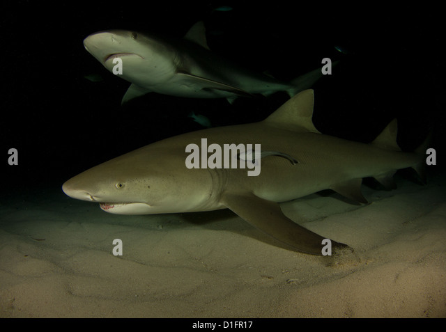 scar scars shark stock photos scar scars shark stock images alamy lemon and reef shark sharing a frame on a night dive stock image