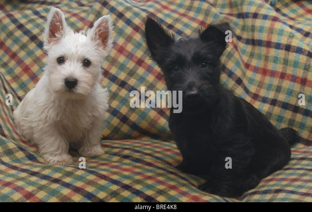 Westie Puppy Stock Photos & Westie Puppy Stock Images - Alamy