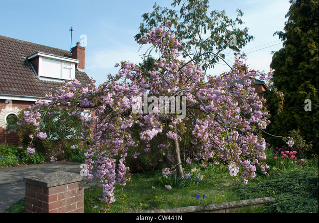 the house behind a weeping cherry Noteworthy characteristics prunus pendula is an ornamental weeping cherry tree that is native to japan the white or pink flowers bloom in 2 to 5-flowered umbels in late winter to early spring before the leaves emerge.