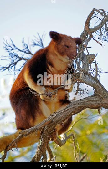 goodfellows tree kangaroo or ornate tree kangaroo dendrolagus goodfellowi very rare