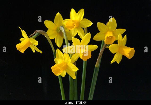 tete tete narcissus miniature daffodil stock photos tete tete narcissus miniature daffodil. Black Bedroom Furniture Sets. Home Design Ideas