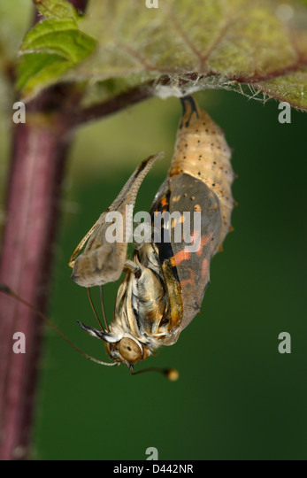 painted-lady-butterfly-emerging-from-chrysalis