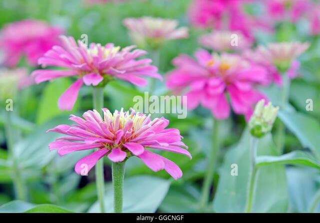 pink aster flower head closeup stock photos  pink aster flower, Beautiful flower