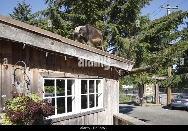 garden sheds vancouver island goats on the roof stock photos goats on the roof stock