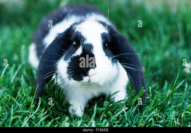Black Rabbit And White Nose Stock Photos & Black Rabbit ...