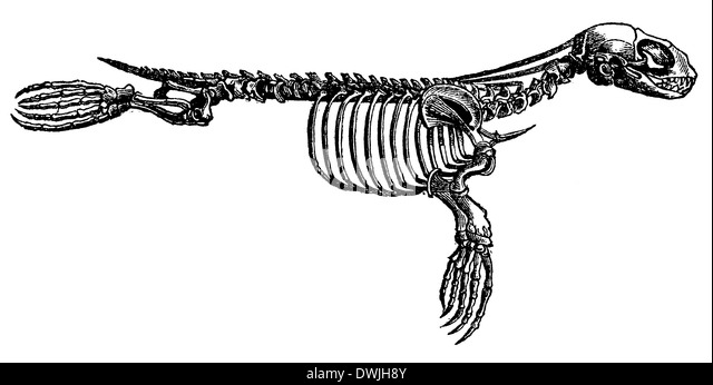 skeleton illustration historical stock photos  u0026 skeleton