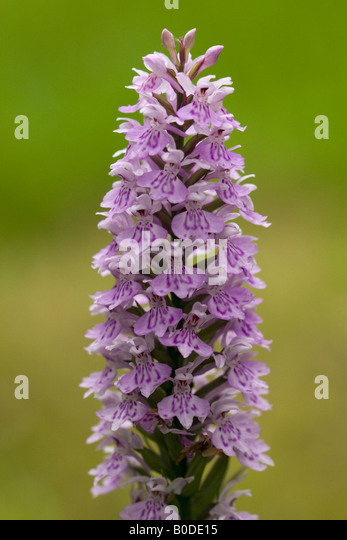 nursery latin singles Single pink flowers in spring followed by purple foliage latin name: malus 'velvetcole' at surface nursery.