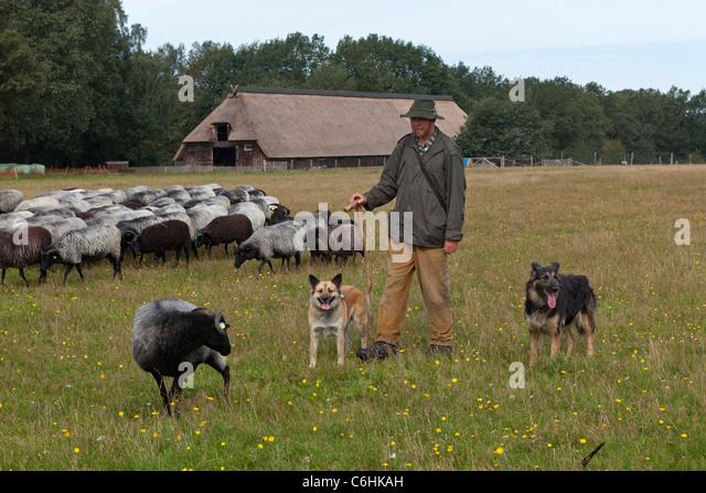dog sheep pen stock photos amp dog sheep pen stock images