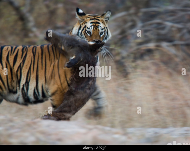 Siberian tigers hunting prey