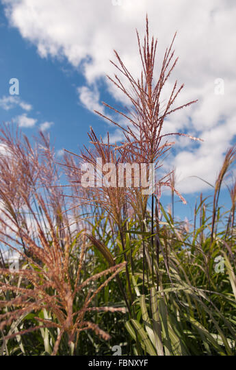miscanthus sinensis stock photos miscanthus sinensis stock images alamy. Black Bedroom Furniture Sets. Home Design Ideas