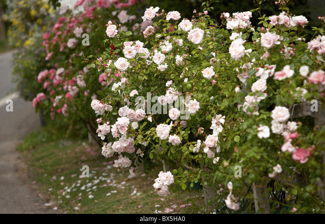 how to prepare rose bushes for winter in canadian