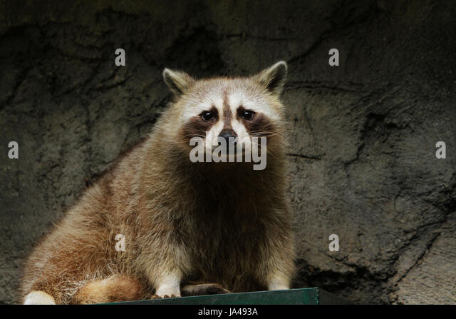 Cute Racoon Stock Photos Images
