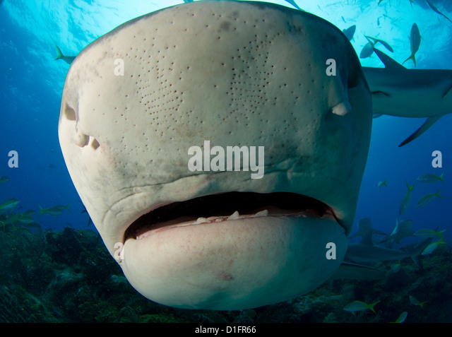 tiger shark attack stock photos tiger shark attack stock images  close up tiger shark stock image