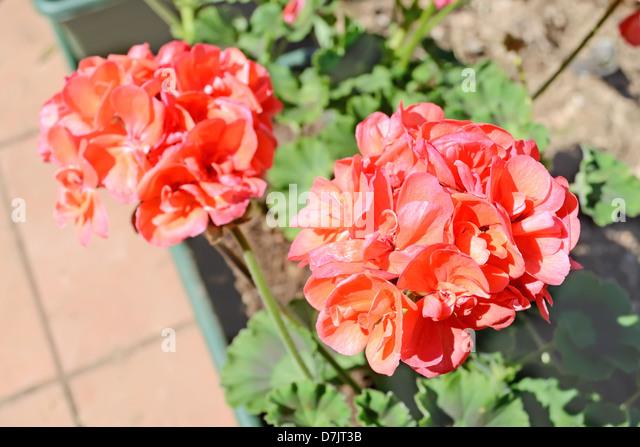 Geranium Flower Bed Stock Photos & Geranium Flower Bed ...