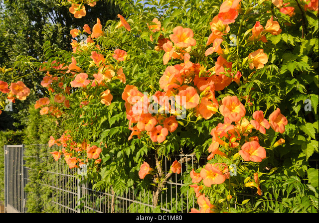 flowering orange trumpet vine stock photos flowering. Black Bedroom Furniture Sets. Home Design Ideas