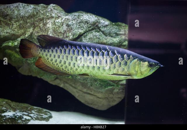 Arowana stock photos arowana stock images alamy for Freshwater dragon fish