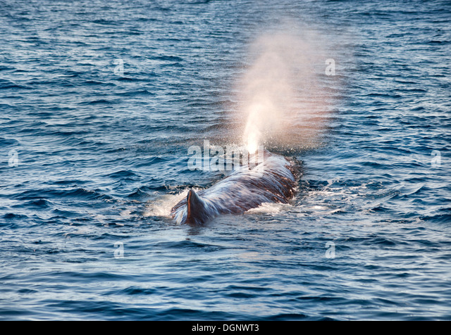 sperm whale hunting