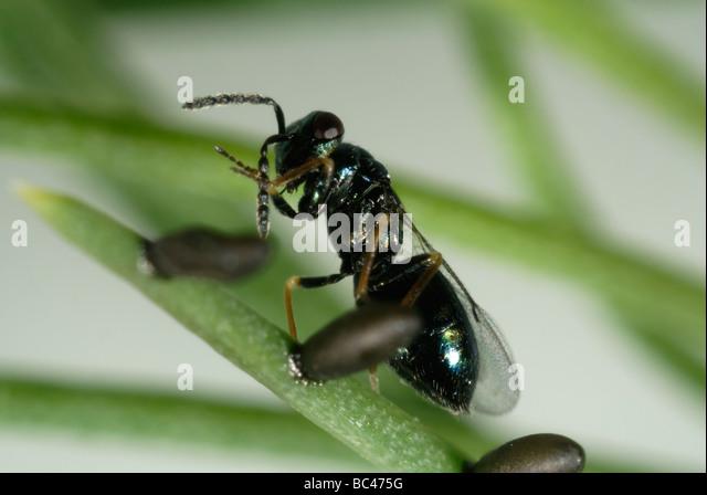 Asparagus Beetle Control: Parasitoid Wasp Tetrastichus Asparagi A Parasite With