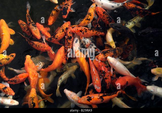 Taisho sanke stock photos taisho sanke stock images alamy for Sanke koi fish