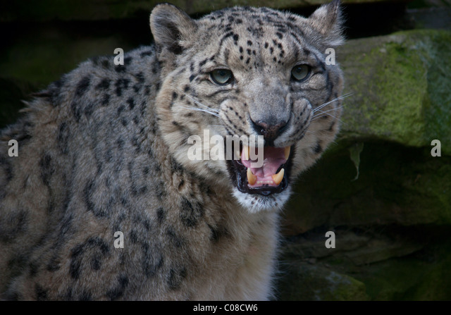 Snow Leopard Snarl Stock Photos & Snow Leopard Snarl Stock ...