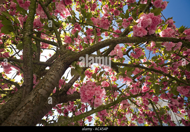 Caduque stock photos caduque stock images alamy for Fleurs du printemps