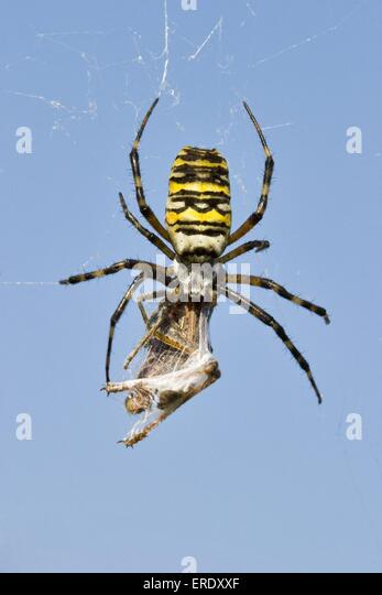 the spider and the wasp essay B the piece the spider and the wasp is an example of good environmental essays issues for persuasive process writing the spider and the wasp tarantulas might look.