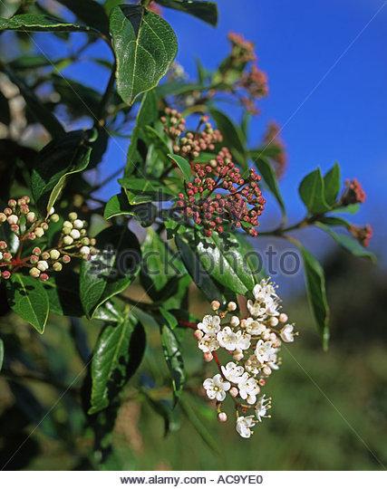 viburnum tinus eve price laurustinus in white flower stock image