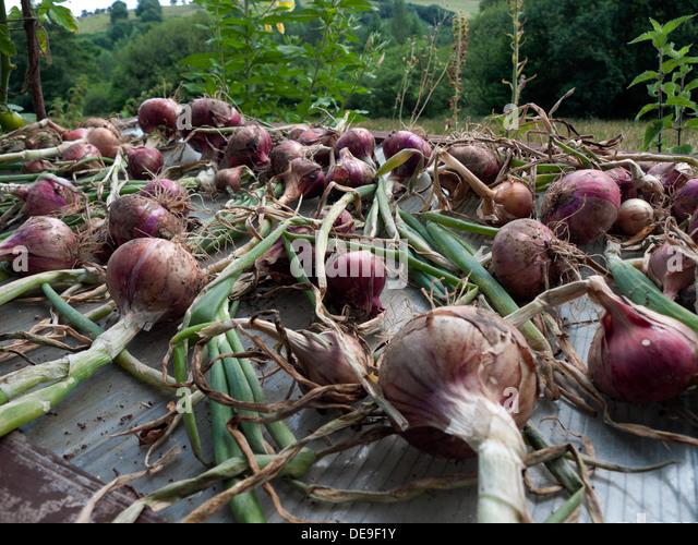 how to grow onions uk