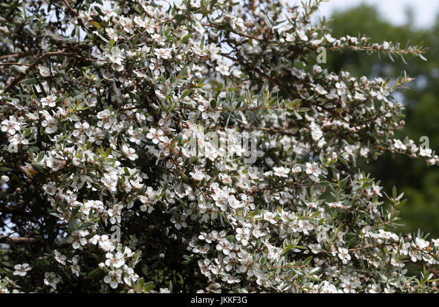 Leptospermum stock photos leptospermum stock images alamy small white flowers smother the branches of the mountain tea tree leptospermum grandiflorum stock mightylinksfo Image collections