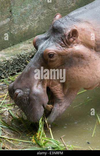cartoon hippopotamus stock photos amp cartoon hippopotamus