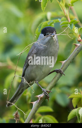 male Blackcap (Sylvia atricapilla) collecting nesting material - Stock Image