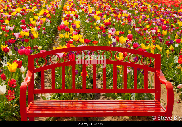 Beautiful Red Flower Garden Bench Amongst Spring Tulips On The Wooden Shoe Tulip Farm  In Woodburn,