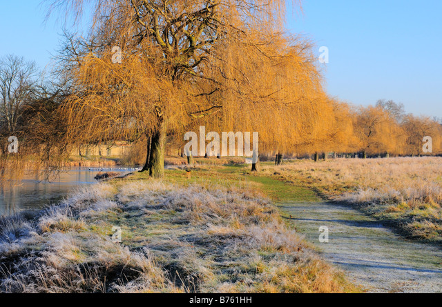 Weeping Willow Trees In Winter Home Park Kingston Surrey