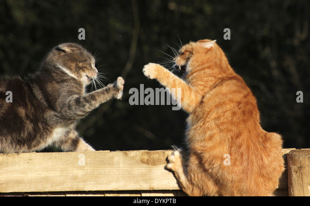 how to make cats fight