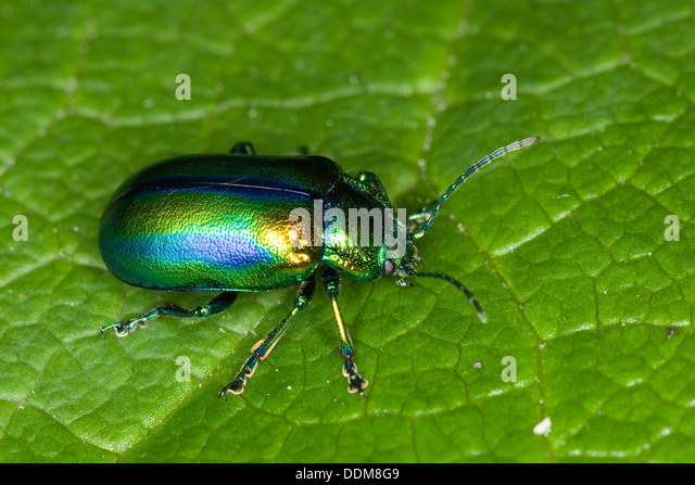Leaf Beetle Chrysomelidae Leaf Bee...