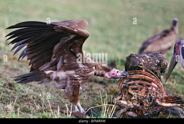 Lappet Faced Vulture Eating