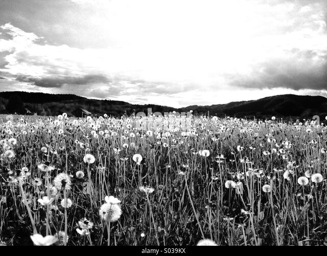Dandelion Field Black And White