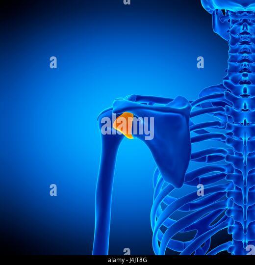 Capsular Ligament Stock Photos & Capsular Ligament Stock Images - Alamy
