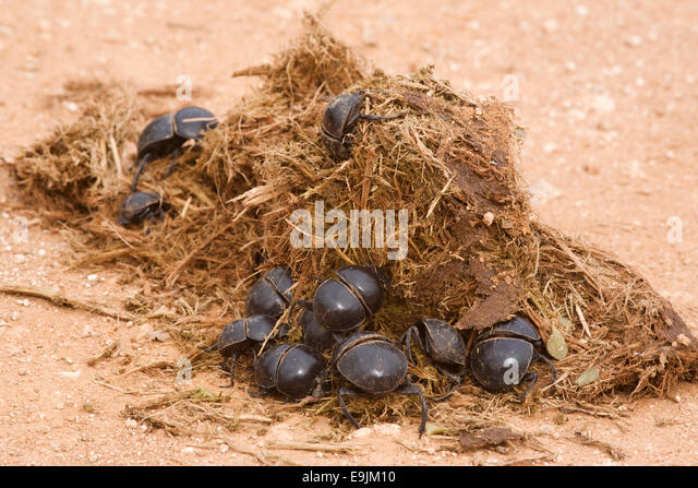 Elephant Dung Stock Photos & Elephant Dung Stock Images ...