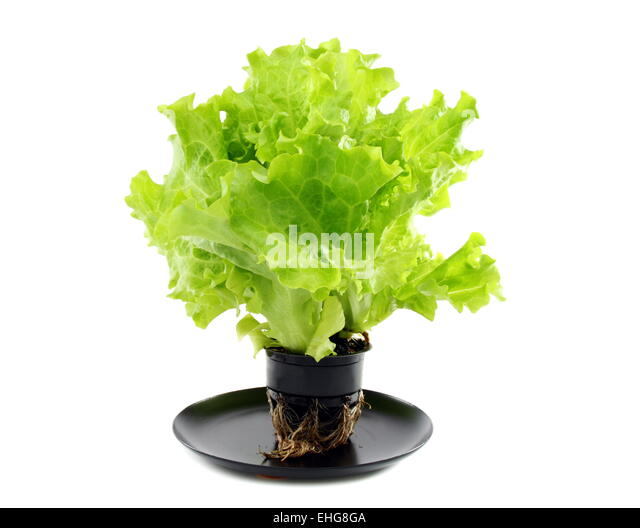 how to grow lettuce from roots
