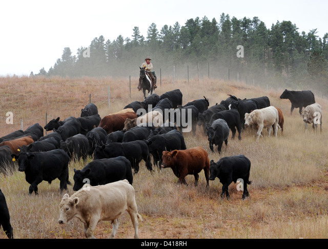 E Cattle Drive Cattle Drives Stock Ph...