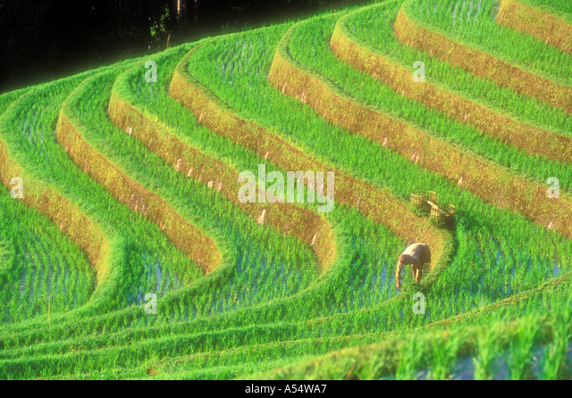 Terrace farming southeast asia stock photos terrace for Terrace cultivation
