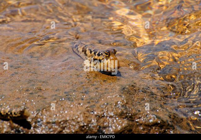 Barred Mudskipper (Periophthalmus argentilineatus) sitting on a rock ...